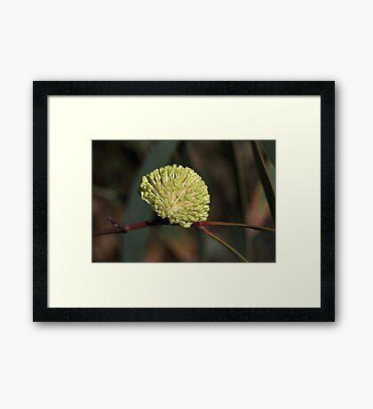 Australian Hakea Flower Framed Print