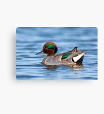 Green Winged Teal Portrait Canvas Print