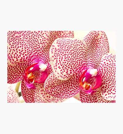 Phalaenopsis Orchid Photographic Print
