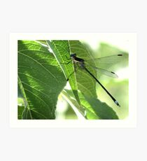 Damselfly ~Great Spreadwing (Male) Art Print