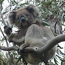 Koala & Baby - Horsnell Gully, South Australia by Dan Monceaux