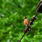 Robin in the rain by Michael Garson