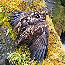 Bald Eagle 5. by Alex Preiss
