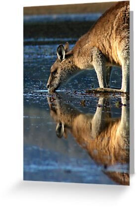 Eastern Grey Kangaroo Drinking by inthewild
