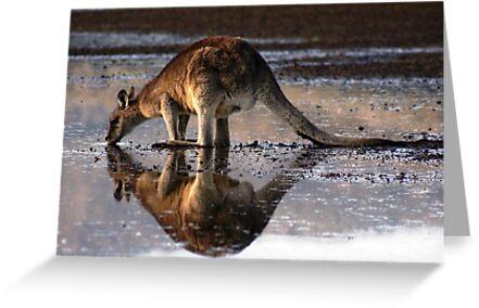 Eastern Grey Kangaroo Drinking by inthewild