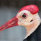 Southern Bald Ibis by SuddenJim