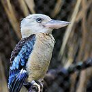 Blue Crested Kingfisher by SuddenJim