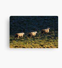 Three Sheep Walking Canvas Print