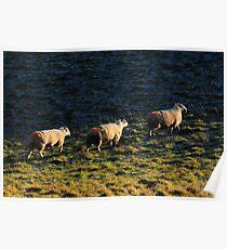 Three Sheep Walking Poster
