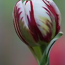 Red & White Tulip by Lindie Allen