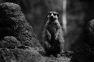 Meerkat by Joshua Greiner