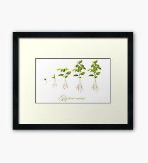 Soybean (Glycine max) plant development Framed Print