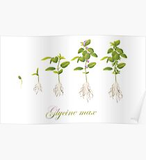 Soybean (Glycine max) plant development Poster