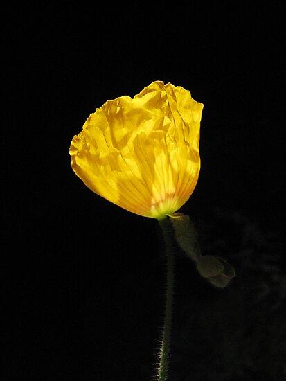 Orange Poppy by floodlight by abbycat