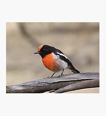 Red-Capped Robin Photographic Print