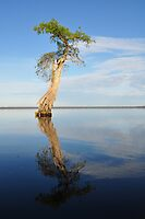 Solitary Cypress by Michele Conner