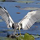 Tricolored heron fishing by Anthony Goldman