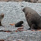 Fur Seal family by Rosie Appleton
