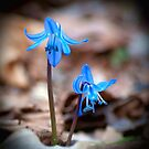 Blue Bells  by KFuoco