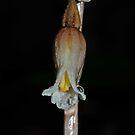 Gastrodia sesamoides by Colin12