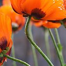Surprise Cluster of Poppies by Lee Currie