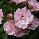 Scent of Sweet Summer Roses by Lee Currie