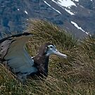 Wandering Albatross chick by Rosie Appleton