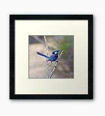 Blue Wren Framed Print