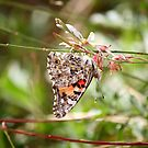 Painted Lady Butterfly by Sherry Pundt