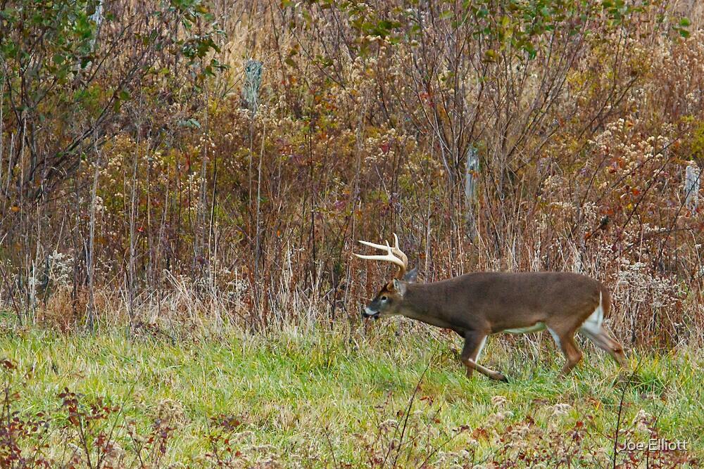 Whitetail Buck Prowling by Joe Elliott