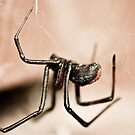 Redback Spider 1 by Michael Walker