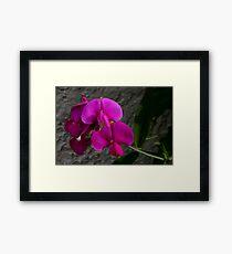 pink sweet pea Framed Print