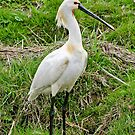 Adult Spoonbill by Robert Abraham