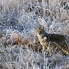 Cunning Coyote by Marty Samis