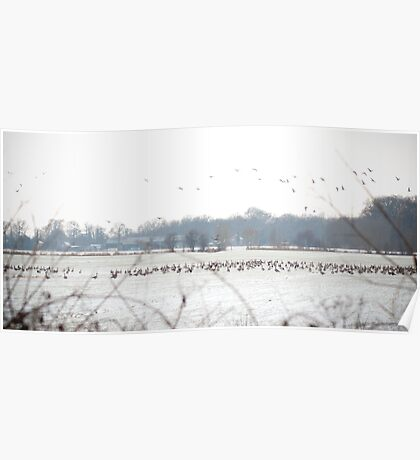 Hundreds and hundreds of geese Poster