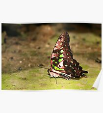 Tailed Jay - Graphium agamemnon Poster