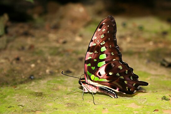 Tailed Jay - Graphium agamemnon by Lepidoptera
