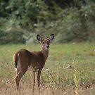 Curious doe by Jen Hendricks