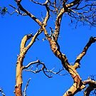 skyward arbutus tree by TerrillWelch