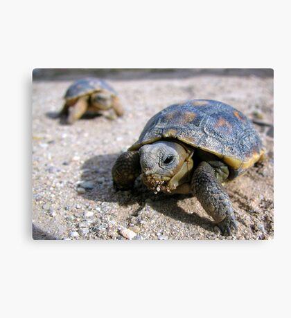 Desert Tortoises ~ Hatchlings (4-5 weeks) Canvas Print