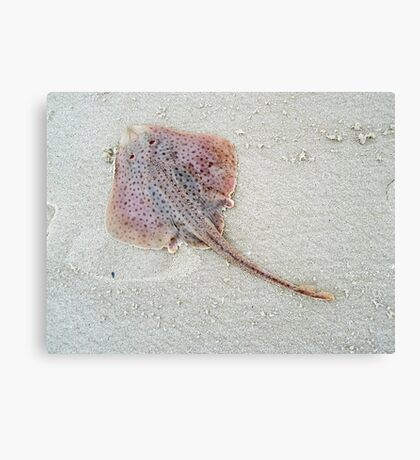 Little Skate - Leucoraja erinacea Canvas Print