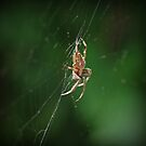 Spider in Center of web by pnjmcc