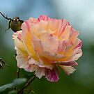 Variegated Rose by Hugh Fathers