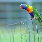 Rainbow Lorikeet. Brisbane, Queensland,  Australia by Ralph de Zilva