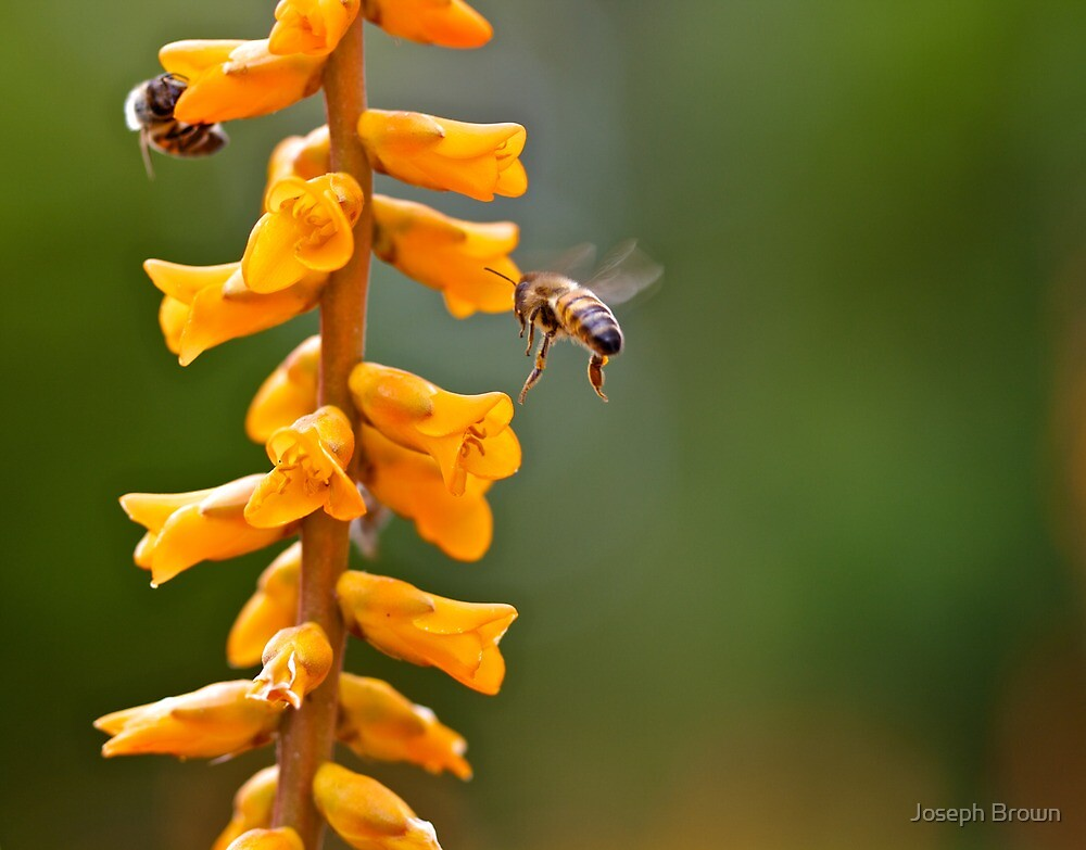 Bee's on a flower by Joseph Brown