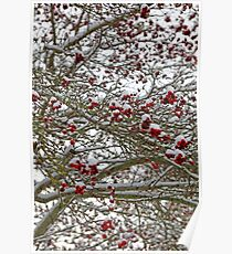 Snow covered tree full of red berries Poster