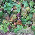 Grapes by iagomega