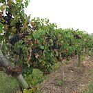 Winery by iagomega