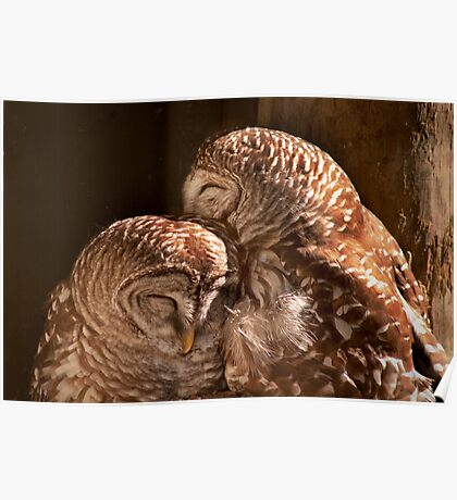 """""""In CoHoots"""" Two Barred Owls Snuggling Poster"""