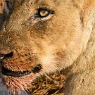 Sparta Lioness Relaxing After Meal by Michael  Moss
